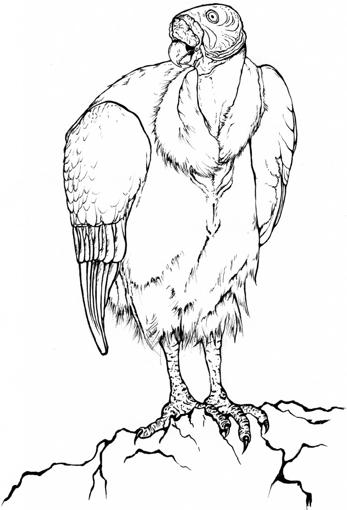 Black and white line drawing of a king vulture