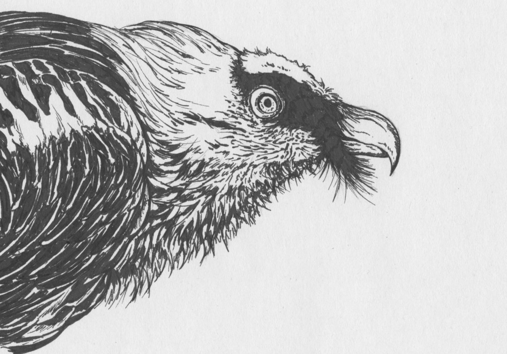 This is a drawing of a bearded vulture