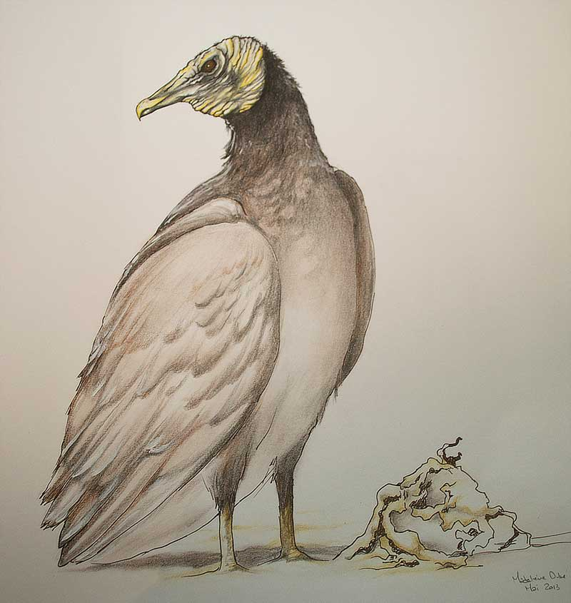 American black vulture - Coragyps atratus drawing