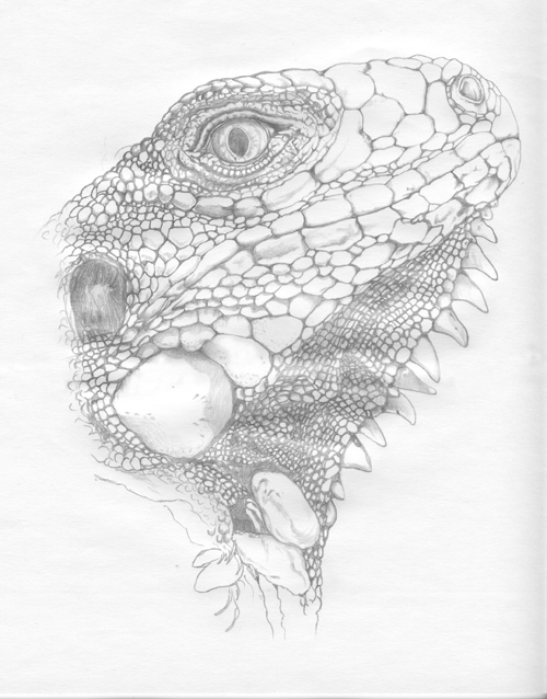 Green Iguana black and white pencil drawing