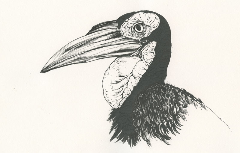 Southern ground hornbill black and white drawing