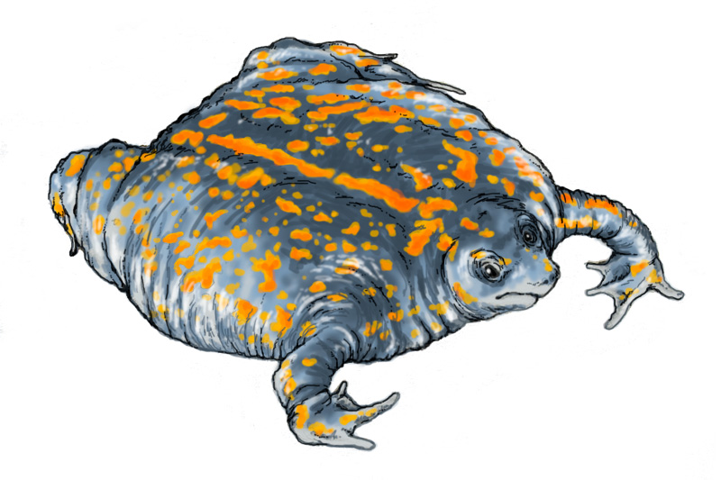 Mexican burrowing toad drawing
